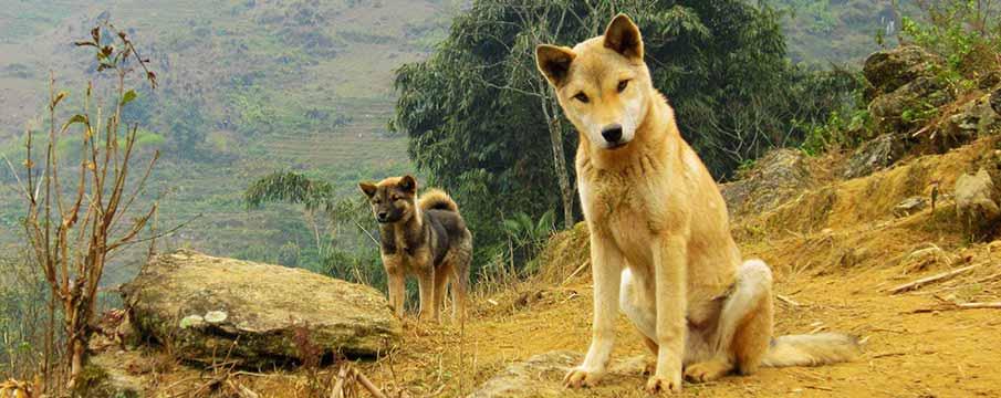 vietnam-dogs