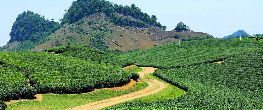 vietnam-son-la-moc-chau-tea