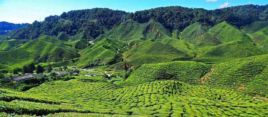 cameron-highlands-plantation-malaysia