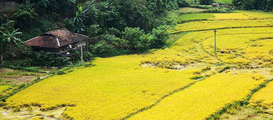 cao-bang-rice-field-vietnam
