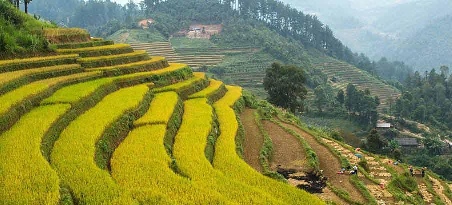 mu-cang-chai-rice-vietnam2