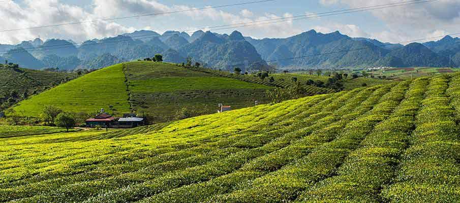 moc-chau-tea-plantations-vietnam