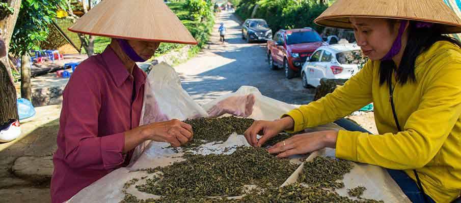 tea-plantation-moc-chau-vietnam