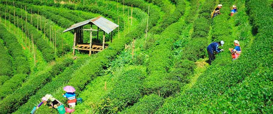 chiang-mai-tea-plantation