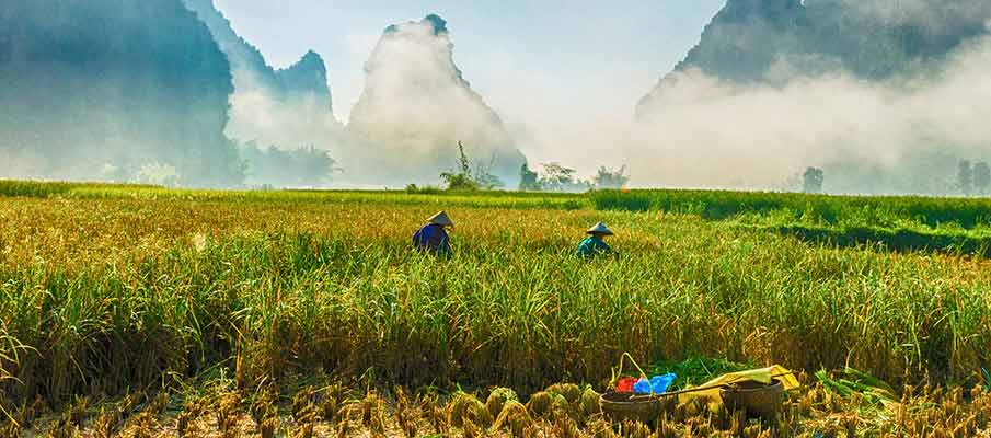 cao-bang-rice-field-vietnam