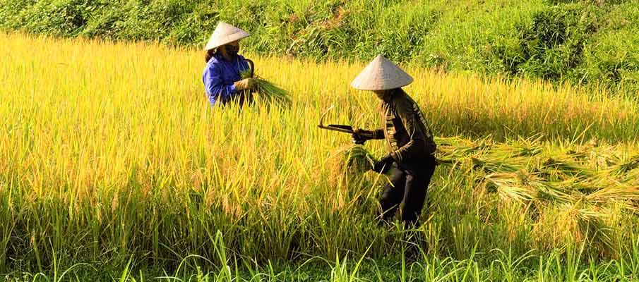 hanoi-dien-bin-phu-rice-field