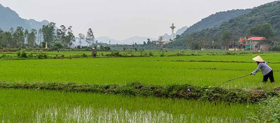 rice-field-dong-hoi-vietnam