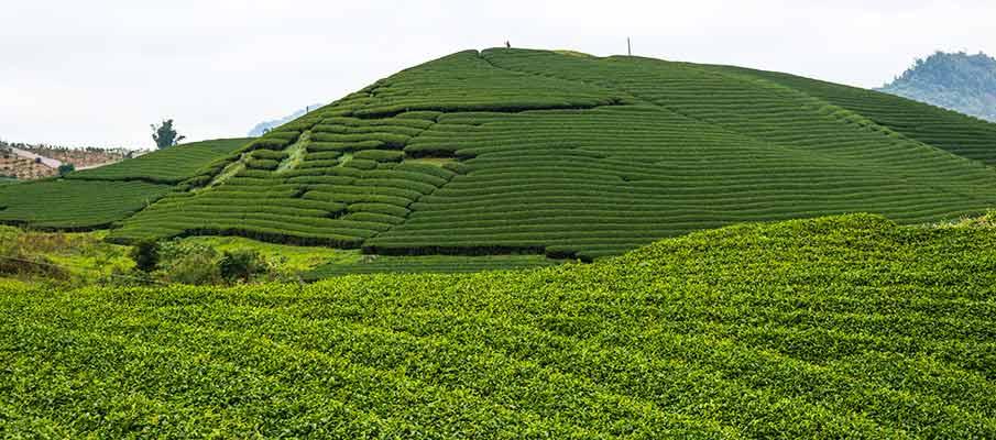 tea-plantations-cho-long-moc-chau