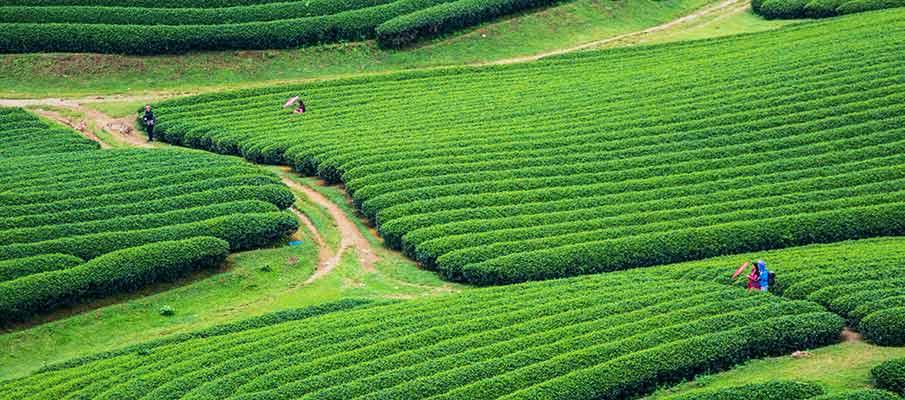 tea-plantations-doi-che-trai-tim-moc-chau1