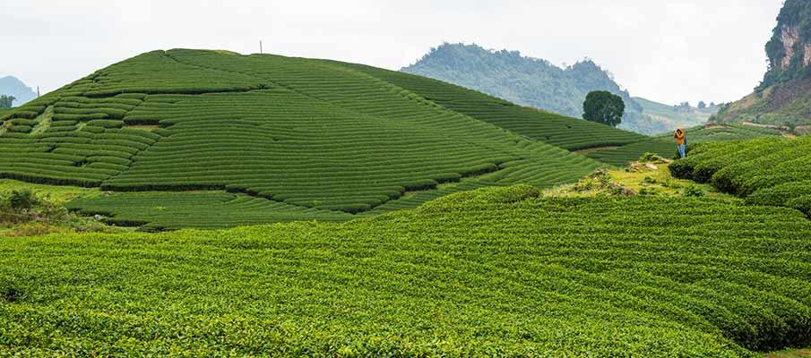 tea-plantations-moc-chau-trai-tim