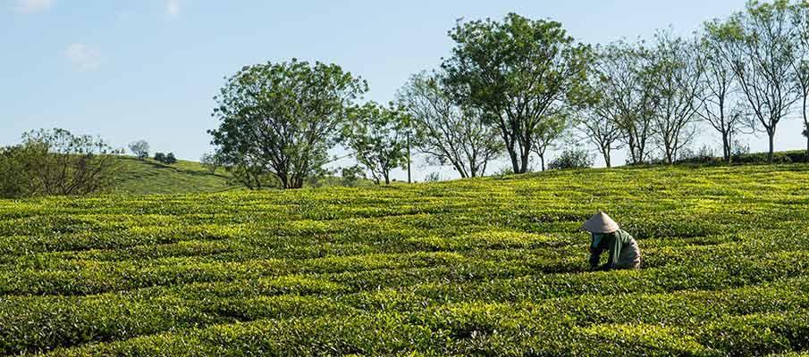 tea-plantations-moc-chau-vietnam