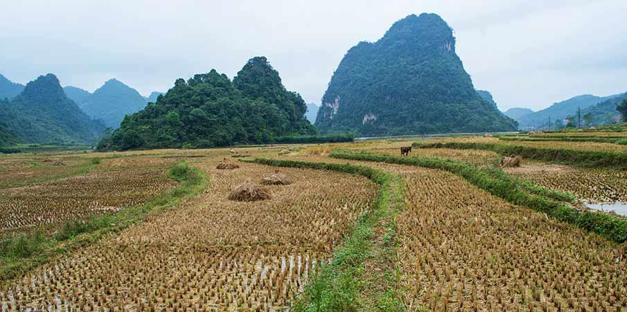 cao-bang-tra-linh-rice-field